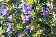 Hyzop lekarski - obłędne ziele o wielkiej mocy - VeryHealthyFreaks Plants, Gardening, Fit, Shape, Garten, Planters, Lawn And Garden, Garden, Plant
