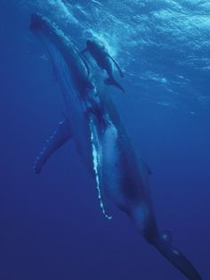 Humpback Whale and Calf, Tonga, South Pacific Photographic Print by Amos Nachoum