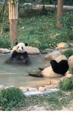 Funny Animal Videos, Animal Memes, Funny Animals, Cute Animals, Panda Gif, Panda Bear, Smart Mirror Diy, Moving Photos, Little Critter