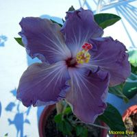 Taiwan Hibiscus - Linda Lee Purple Hibiscus, Hibiscus Plant, Hibiscus Flowers, Cactus Flower, Tropical Flowers, Pink Flowers, Tropical Gardens, Yellow Roses, Pink Roses