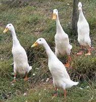 Runner Ducks ... they are so cute!  Great Egg Layers!  Getting these on Saturday