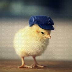 Chick Wearing A Denim Newsboy Hat by chicksinhats, - Anthropomorphic - animals Baby Animals Super Cute, Cute Little Animals, Cute Funny Animals, Cute Chickens, Baby Chickens, Chickens Backyard, Pollo Animal, Animal Pictures, Cute Pictures