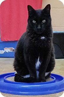 St. Louis, MO - Domestic Shorthair. Meet Fuzzy, a cat for adoption. http://www.adoptapet.com/pet/16690870-st-louis-missouri-cat