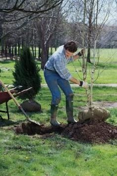 A soil ball intact around tree roots reduces transplant shock so trees recover quickly.