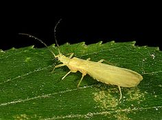 Entomology 462 - Orders of Hexapoda - Order Plecoptera - stonefliess