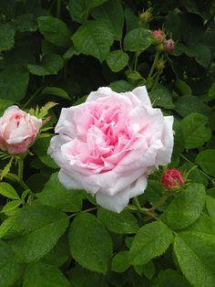 'Duchesse de Montebello' Rose 1824-1825... By Artist Unknown... @;} ~