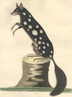 The Spotted Opossum, From The Voyage Of Governor Phillip To Botany Bay.