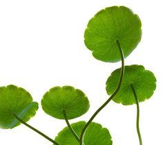 lotus leaf - Google Search