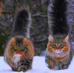 18 Maine Coon Kittens Waiting To Grow Up Into Giants Cute Cats And Kittens, Cool Cats, Kittens Cutest, Ragdoll Kittens, Bengal Cats, White Kittens, Siamese Cats, Pretty Cats, Funny Animals