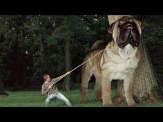 Dünyanın En BÜYÜK Köpek Irkları ►► 15 BIGGEST Dogs In The World, Kangal Giant…