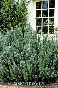 Blue Spires Rosemary -   Rosmarinus officinalis 'Blue Spires'. This hardy evergreen has unique light grey-green needle foliage. Clear blue flowers appear over a long season. Thrives in poor well-drained soil. Commonly found in herb gardens or as an informal hedge. Takes to pruning well, perfect for screens. Drought tolerant. Moderate grower to 4 to 5 ft. tall, 2 to 3 ft. wide