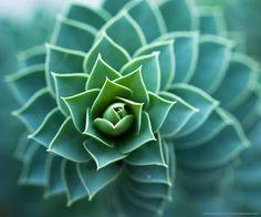 Fibonacci spiral aloe