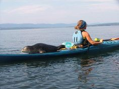 silly seal, kayaks are for humans Kayak Camping, Canoe And Kayak, Kayak Fishing, Kayaking Gear, Kayaks, Sup Stand Up Paddle, Kayak Paddle, Kayak Adventures, Naval