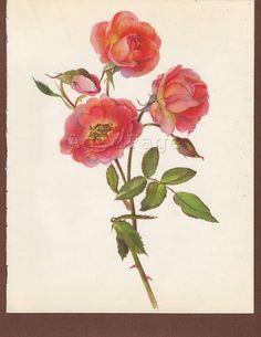 botanical print rose - Google-Suche