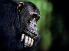 Frodo, a Male Chimpanzee