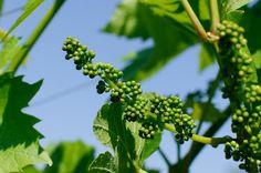 Weingut Winzerzimmer Buschenschank Rothschädl – Google+ Herbs, Fruit, Google, Wine, Herb, Medicinal Plants