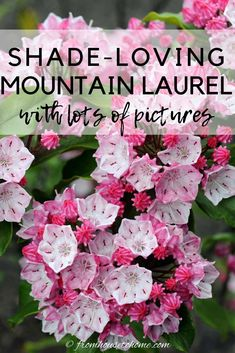 These tips on growing Mountain Laurel are the BEST!! I love that this shade loving shrub (Kalmia latifolia) is evergreen and has beautiful flowers. Now that I know how to care for it, I'm definitely adding one to my shade garden. #fromhousetohome #gardeningtips #shadeplants #gardenideas #mountainlaurel #plants Partial Shade Perennials, Shade Flowers Perennial, Shade Loving Shrubs, Shade Shrubs, Flowers Perennials, Shade Plants, Perennial Bushes, Vegetable Garden For Beginners, Gardening For Beginners