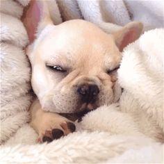 Sleeping Angel, French Bulldog Puppy