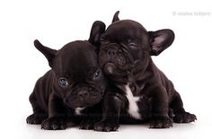 Two adorable black French bulldog puppies Puppies And Kitties, Baby Puppies, Bulldog Puppies, Doggies, Super Cute Animals, Cute Little Baby, Puppy Love, Animal Pictures, Fur Babies