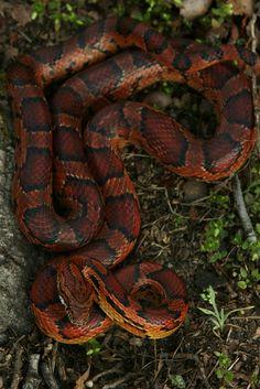Corn Snake - looks almost like my Rosie, tho her stripes have a zig-zag pattern making her an Okeete Corn Snake