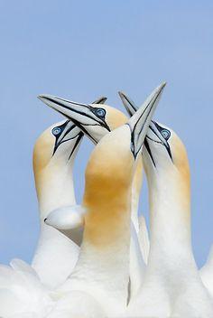 ~~greetings my friends, gannets, Saltee Island, County Wexford, Ireland by Andrew Jones~~