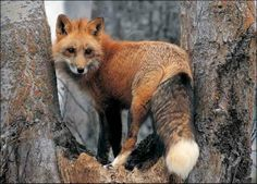 Fox in tree... - Pixdaus