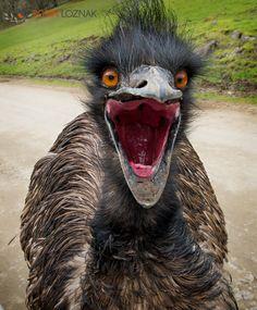 2013 - Winston, Oregon, U.S - A large emu displays on a road at the Wildlife Safari drive-through zoological park in Winston Oregon. Emus are large flightless birds Emu War, Funny Animals, Cute Animals, Animal Funnies, Baby Animals, Ostriches, Flightless Bird, Wildlife Safari, Funny Animal Pictures