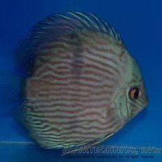 """Wild Discus ....Blue Face Heckel. Symphysodon discus """"Rio Unini"""""""