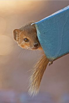 Yellow Mongoose hiding in a rain water down pipe in the Nossob rest camp in the Kgalagadi Transfrontier Park, Kalahari Desert, South Africa: Photographed by Shane Saunders  (Cape Town, RSA)