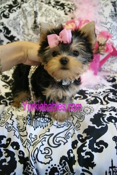 Some of the Tiniest, Most Beautiful Teacup Yorkie Puppies in the World! Teacup Yorkie and Small Toy Yorkies for Sale. See the Best! Micro Teacup Yorkie, Teacup Yorkie For Sale, Yorkies For Sale, Yorkie Puppy For Sale, Teacup Puppies, Puppies For Sale, Cute Puppies, Cute Dogs, Yorkie Breeders