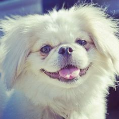 pekingese smiling for the camera..i wish lily would smile...heck even look at the camara...
