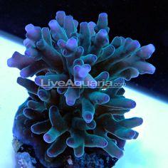 Hawkin's Blue Echinata, Aquacultured, ORA®