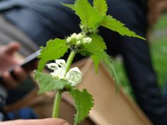 """Dead"" nettle - from the mint family, not as nutritious as stinging nettles, but can still be used in similar ways."