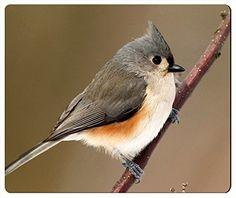 Tufted Titmouse - Острохо́хлая сини́ца (лат. Baeolophus bicolor) — певчая птица из семейства синицевых.