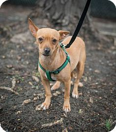 Nicole is a sweet little Chihuahua under medical care for heartworm and skin issues but will be up for adoption when she is all better.  She is accepting sponsors and applications!
