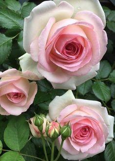 My Flower, Flower Art, Flower Power, Pink Garden, Dream Garden, Exotic Flowers, Pretty Flowers, Gif Kunst, Rose Flower Wallpaper