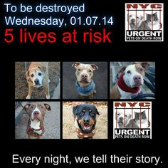 TO BE DESTROYED: 5 beautiful dogs to be euthanized by NYC ACC- WED. 01/07/15. This is a VERY HIGH KILL shelter group. YOU may be the only hope for these pups! ****PLEASE SHARE EVERYWHERE!!To rescue a Death Row Dog, Please read this:  http://urgentpetsondeathrow.org/must-read/    To view the full album, please click here:    https://www.facebook.com/media/set/?set=a.611290788883804.1073741851.152876678058553&type=3
