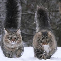 One a Norwegian and the other a Maine Coon? They're beautiful One a Norwegian and the other a Maine Coon? Cute Cats And Kittens, Cool Cats, Kittens Cutest, Ragdoll Kittens, Tabby Cats, Bengal Cats, Siamese Cats, Pretty Cats, Beautiful Cats