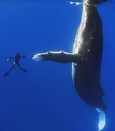 Diver shaking hands with a 52ft humpback whale Hawaii. Photo - Masa Ushioda. Also Follow  @thebeautyofthailand. #OurLonelyPlanet #HumpbackWhale #Hawaii Hotels-live.com via https://www.instagram.com/p/_gEwh6RtKt/ #Flickr