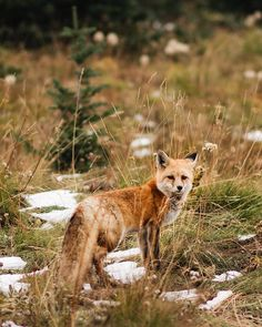Foxes are very intelligent creatures. Let's support them. I STAND FOR FOXES. Stop killing them for fur!!