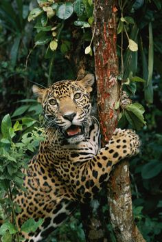 Jaguar using a tree as a scratching post. (by Steve Winter) Jaguar using a tree as a scratching post. (by Steve Winter) Especie Animal, Mundo Animal, Animal Memes, Big House Cats, Big Cats, Cats And Kittens, Cats Bus, Siamese Cats, Animals And Pets