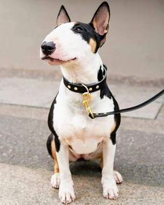 """Outstanding """"beagle pups"""" info is available on our internet site. Mini Bull Terriers, Miniature Bull Terrier, English Bull Terriers, Perros Bull Terrier, Bull Terrier Puppy, Cute Dogs And Puppies, Pet Dogs, Dog Cat, Weiner Dogs"""