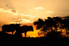 wildebeest-sunset.KP_Photograph by Kevin Power.