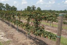 Growing Blackberries on a Two Wire Trellis