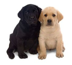 Black and yellow Labs.