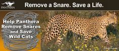 Help our friends @PantheraCats remove snares and save wild cats.