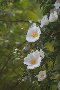 State Flowers Photo Gallery: Georgia State Flower - Cherokee Rose