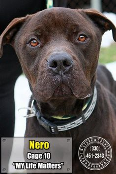 10 Nero is an adoptable Labrador Retriever searching for a forever family near Canton, OH. Use Petfinder to find adoptable pets in your area.