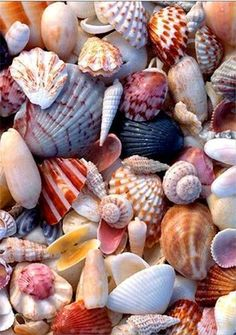 Sea shells of Sanibel. Sanibel is known for its shells. Sanibel Island, Shell Art, Jolie Photo, Ocean Life, Ocean Beach, Shell Beach, Summer Beach, The Ocean, Seaside Beach