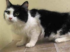 TO BE DESTROYED 6/20/14 ** Wait...are they bringing back their beautiful, lovely cat because she eats garbage??? ** Manhattan Center  My name is BLOSSOM. My Animal ID # is A0985263. I am a spayed female black and white domestic sh mix. The shelter thinks I am about 11 MONTHS old.  I came in the shelter as a OWNER SUR on 06/12/2014 from NY 10466, owner surrender DESTRUCTIV.